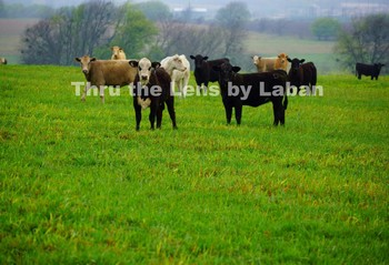 Cows in the Fog Stock Photo #117