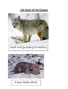 Coyote images 1