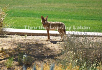 Coyote in the Park Stock Photo #102