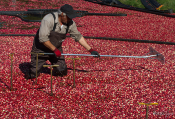 Cranberry Harvest Time in New England