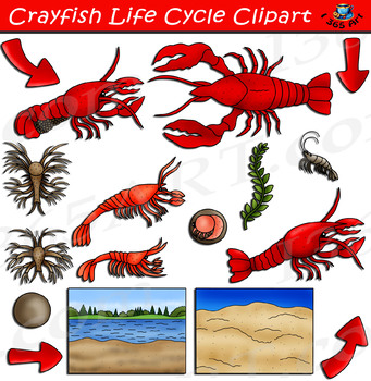 Crayfish Life Cycle Clipart, Lobster Life Cycle