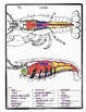 Crayfish anatomy and Simulated Dissection Worksheet