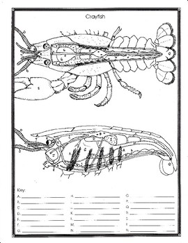 crayfish anatomy and simulated dissection worksheet by biology buff. Black Bedroom Furniture Sets. Home Design Ideas