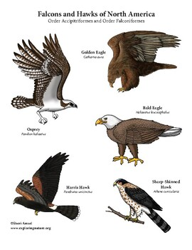 """Create a """"Birds of Prey of North America"""" Long Poster"""