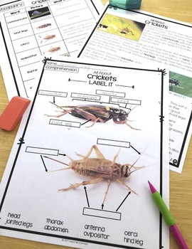 Crickets Differentiated Reading Passages, Vocabulary & Comprehension Activities