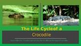 Crocodile Life Cycle + Interactive Quiz