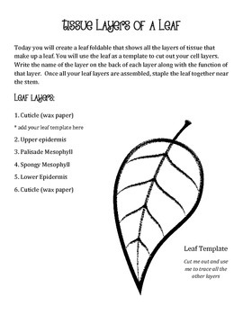 Cross sections of a leaf