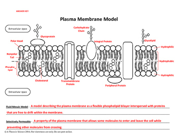 Cut & Paste Plasma Membrane Model by A-Thom-ic Science | TpT