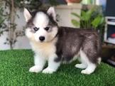 Cute Siberian Husky
