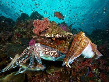 Cuttlefish - Power Point - Information Facts Pictures