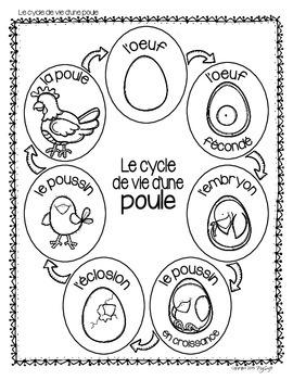 Cycle de vie - la poule