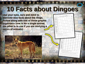 DINGOES - visually engaging PPT w facts, video links, handouts & more