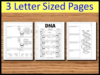 DNA Structure Foldable - Big Foldable for Interactive Notebooks or Binders