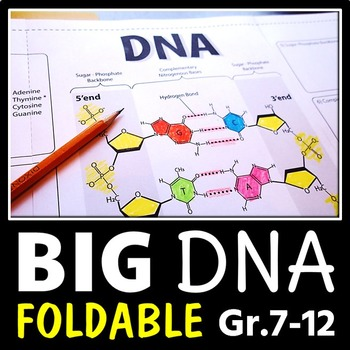 DNA Structure Foldable - Big Foldable for Interactive Note