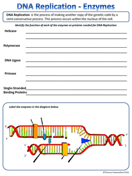 DNA Replication Enzymes - Identify the Function and Label