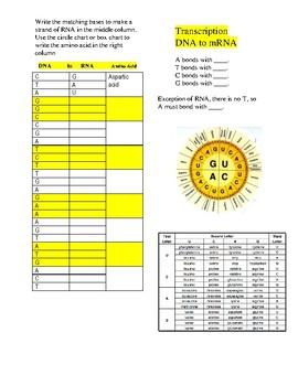 Dna Replication Transcription And Translation Practice Worksheet