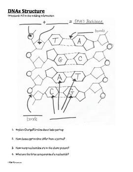 DNA Structure Graphic Organizer
