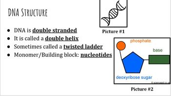 DNA Structure PowerPoint and Notes Worksheet