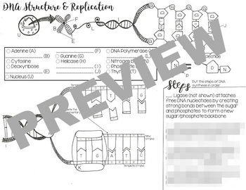 DNA Structure & Replication Coloring Worksheet (Basic)