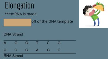 DNA Transcription - Stages of Transcription PowerPoint, Notes, Whiteboard Review