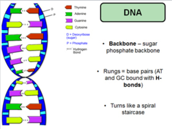 DNA and Molecular Biology Power Point and Questions