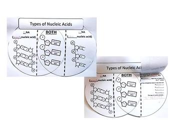 DNA vs RNA Interactive Venn Diagram