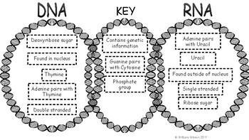 Dna vs rna venn diagram by brittany gibson science tpt dna vs rna venn diagram ccuart Choice Image