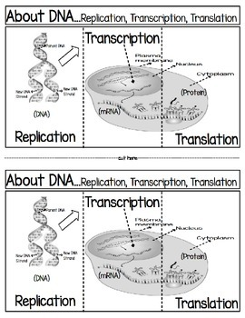 DNA,,,Replication, Transcription Translation