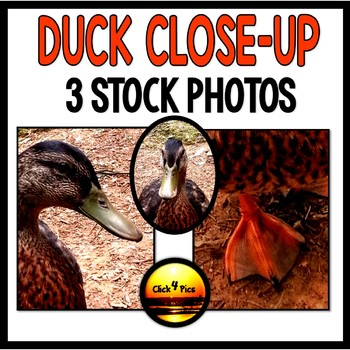 Stock Photos: Duck  for Commercial Use