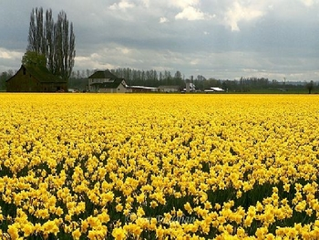 Daffodils- I wandered lonely as a cloud-Wordsworth