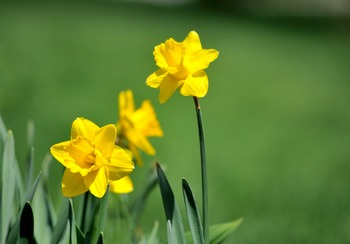 Daffodils on green background