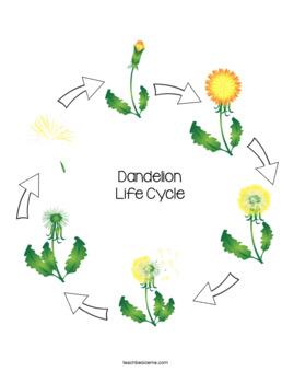 Dandelion Life Cycle by Karyn- Teach Beside Me | TpT