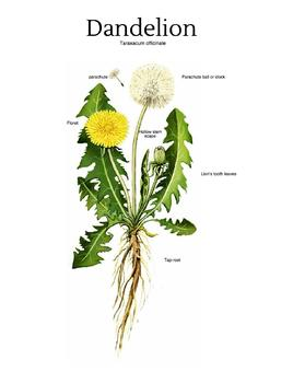 Dandelion activities and importance