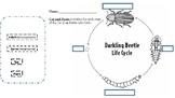 Darkling Beetle Life Cycle