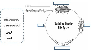 Darkling Beetle Life Cycle