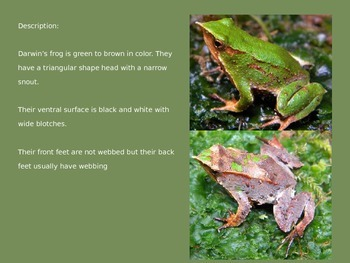 Darwin's Frog - Powerpoint - Information Pictures