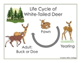 Deer Life Cycle Miniposter