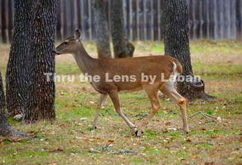 Deer Stock Photo #137