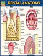 Dental Anatomy - QuickStudy Guide