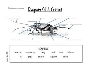 Cricket anatomy diagram