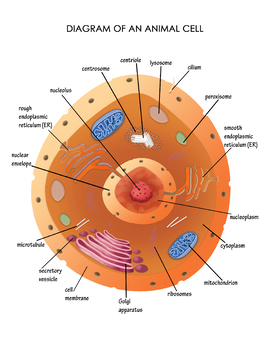 Diagram of an Animal Cell