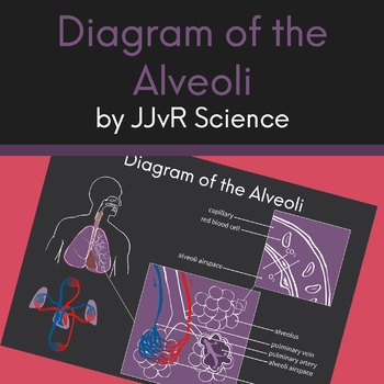 Diagram of the Alveoli