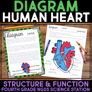 diagram the human heart - structure and function of organisms | tpt, Muscles