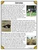 Differentiated Nonfiction Unit: Ostriches