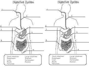 Digestive System Investigation, Digestive System Lab