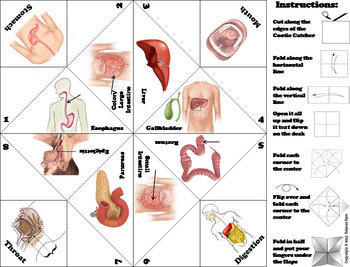 Digestive System Activity/ Foldable (Human Body Systems Review)