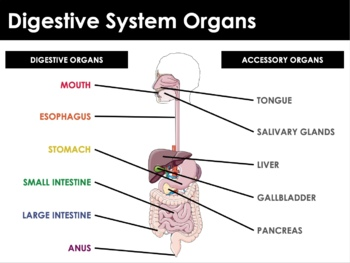 Digestive System - Anatomy, Structure and Functions, Glands, Absorption
