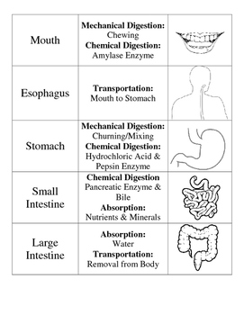 Digestive System: Card Sort