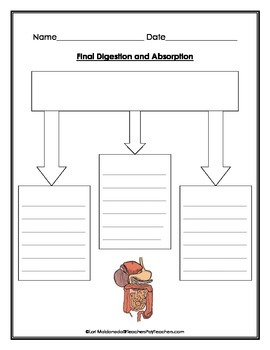 Digestive System: Chemical Digestion Graphic Organizer