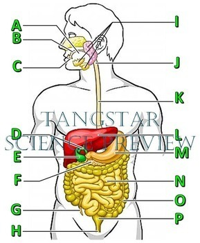 Digestive System Crossword with Diagram {Editable}